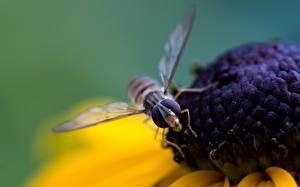 Bureaubladachtergronden Insecten Vliegen Dieren