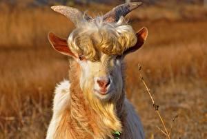Bilder Hausziege Ziegen Starren Tiere
