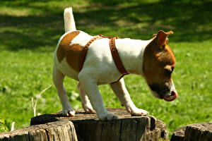 Bilder Hunde Jack Russell Terrier Tiere