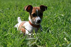 Fotos Hunde Jack Russell Terrier Gras