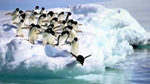 Fotos & Bilder Pinguine Adelie Penguins, Antarctica Tiere fotos