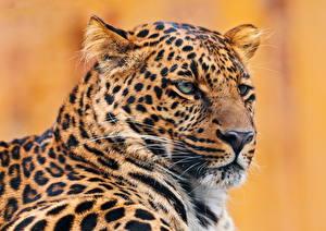 Fotos Leopard Groe Katze Tiere