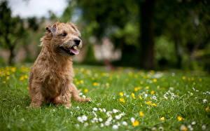 Hintergrundbilder Norwich Terrier