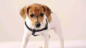 Fotos Hunde Jack Russell Terrier Welpe