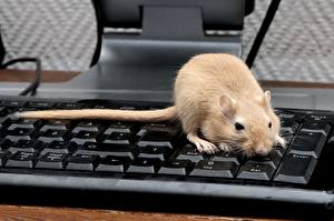 Bilder Nagetiere Ratten