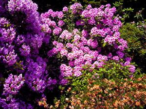 Fonds d'écran Azalées Fleurs