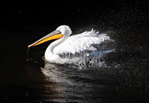 Fotos Vögel Pelikane