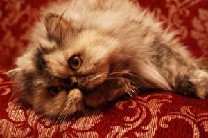 Hintergrundbilder Katze Perserkatze