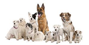 Fotos Hunde Zwergschnauzer Border Collie Shepherd Australian Shepherd Jack Russell Terrier Chinese Crested Tiere