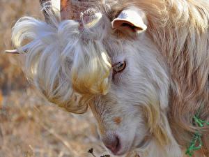 Fotos Hausziege Ziegen