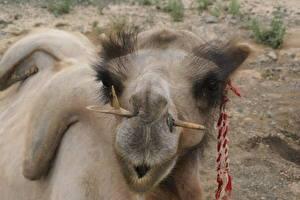 Fotos & Bilder Altweltkamele Mongolian Tiere fotos