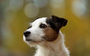 Fotos Hunde Jack Russell Terrier
