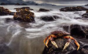 Bakgrunnsbilder Leddyr Krabbe