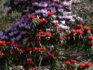 Fonds d'écran Rhododendron