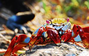 Hintergrundbilder Gliederfüßer Krabben - Tiere