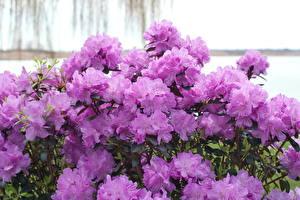 Fonds d'écran Rhododendron Fleurs