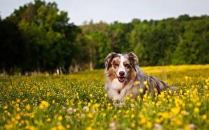 Bilder Hunde Shepherd Gras Australian Shepherd Tiere