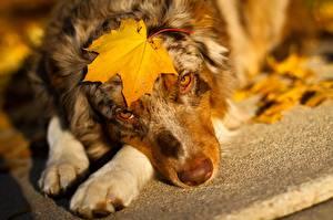 Bilder Hunde Shepherd Blatt Ahorne Australian Shepherd