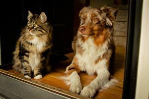 Bilder Hunde Katze Shepherd Australian Shepherd Tiere