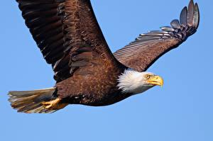 Fotos & Bilder Vögel Adler Weißkopfseeadler Tiere fotos