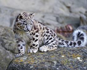 Bilder Große Katze Jungtiere Irbis  Tiere