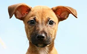 Bilder Hunde Blick Jack Russell Terrier Welpe