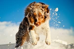 Hintergrundbilder Hunde Shepherd Starren Schnee Sprung Australian Shepherd