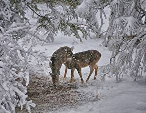 Bilder Hirsche Winter Schnee Ast Tiere