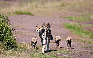 Fotos Große Katze Gepard Jungtiere Tiere