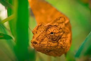 Fotos & Bilder Reptilien Blick Chamäleons Tiere fotos