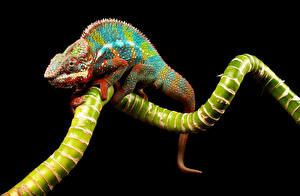 Hintergrundbilder Reptilien Chamäleons Ast Tiere