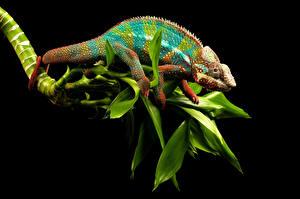 Fotos Reptilien Chamäleons Ast Tiere
