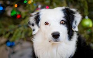 Fotos Hunde Starren Shepherd Border Collie