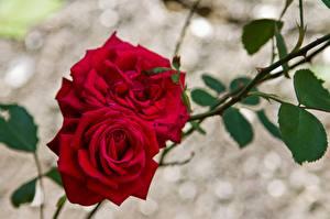 Bilder Rosen Rot Ast Blumen