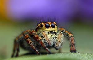 Hintergrundbilder Insekten Webspinnen Springspinnen Blick HDRI