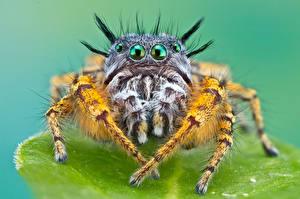 Fotos Insekten Webspinnen Springspinnen Blick HDR  Tiere