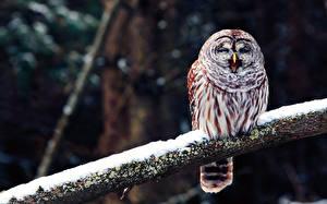 Fotos Vögel Eulen Ast Schnee Tiere