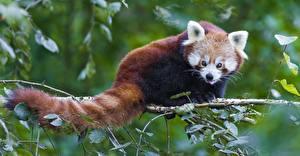 Bilder Bären Großer Panda Kleiner Panda Blick Ast Blattwerk Schwanz Tiere