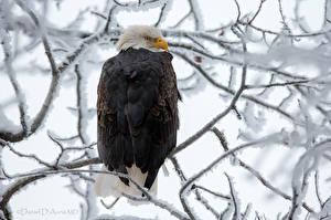 Hintergrundbilder Vögel Adler Ast Schnee Tiere