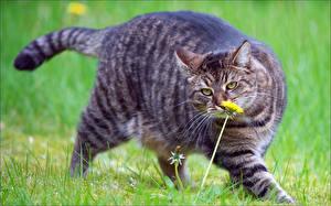 Hintergrundbilder Katze Löwenzahn Blick Gras Schnurrhaare Vibrisse Dick Tiere