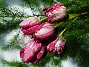 Hintergrundbilder Tulpen Ast Blumen