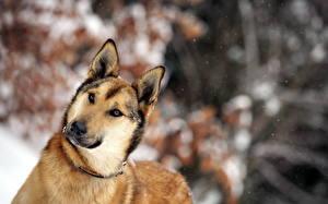 Fotos Hunde Blick Kopf Shepherd Schnauze