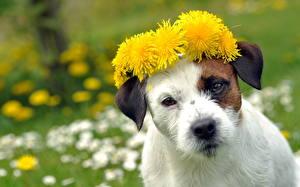 Bilder Hunde Löwenzahn Starren Schnauze Jack Russell Terrier