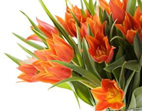 Picture Tulips Orange Flowers