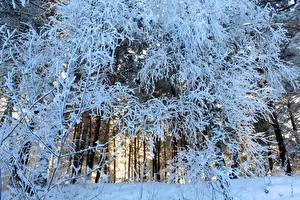 Fotos Wälder Schnee Bäume Ast Natur