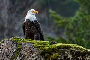 Fotos & Bilder Vögel Adler Steine Laubmoose Weißkopfseeadler Tiere fotos