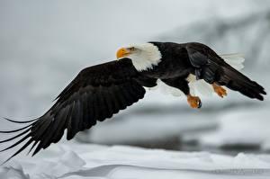 Fotos & Bilder Vögel Adler Flug Flügel Weißkopfseeadler Tiere fotos