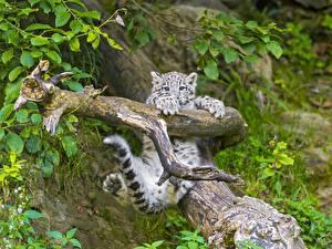 Hintergrundbilder Große Katze Jungtiere Irbis Blick Blattwerk Schwanz Tiere