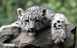 Fotos Große Katze Jungtiere Irbis Steine Starren Pfote Schnauze Tiere