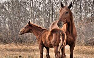 Bureaubladachtergronden Paarden Kijkt Hoofd Staart een dier
